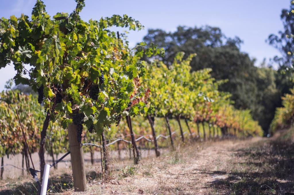 vinyards sonoma