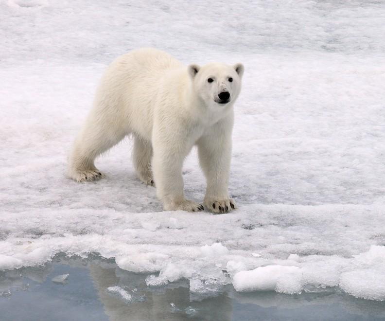 polar bear on thin ice